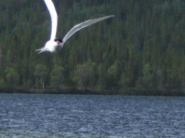 Чайка (Хибины 2005)