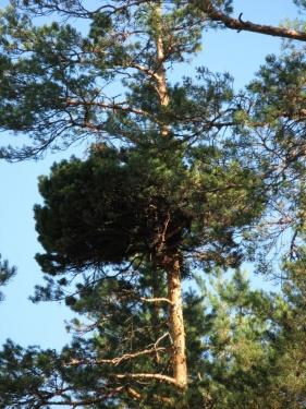 Гнездо (Лух 2010)