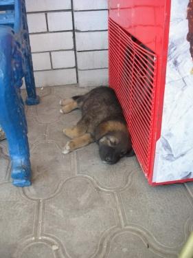 Черкесский щенок (Кавказ 2008)