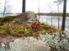 Лес, шишечки, иголочки (Вуокса 2008)