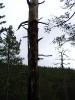 Мертвтое дерево (Хибины 2005)