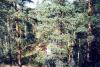 Лес (Кузнечное 2001)